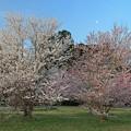 朝陽に輝く桜
