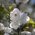 シロタエの桜