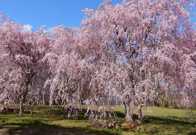 三神峯枝垂れ桜