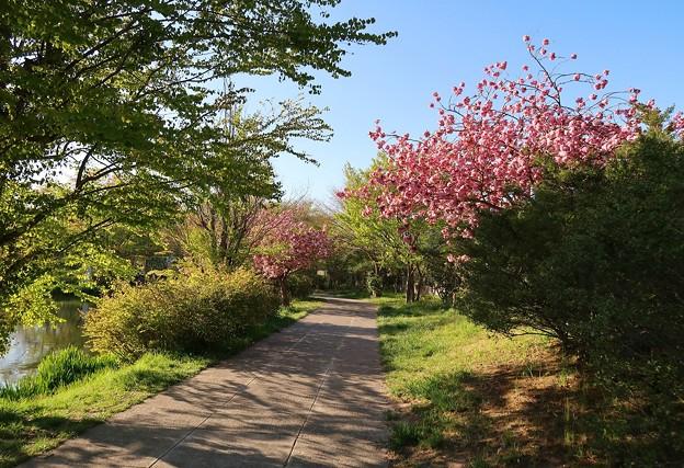 Photos: 天沼公園の散歩道