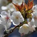 大きな花の太白桜
