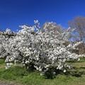 Photos: 白妙の桜