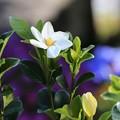 Photos: くちなしの花