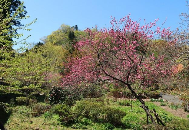 山里に咲く花桃