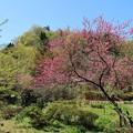 Photos: 山里に咲く花桃