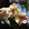 Photos: 御衣黄桜