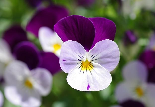 庭に咲くビオラ