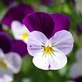 Photos: 庭に咲くビオラ