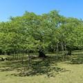 Photos: 新緑桜木の巨木