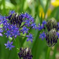 Photos: 庭に咲くシラー