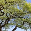 Photos: 新緑の巨木