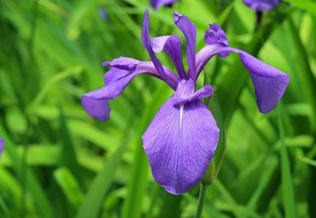 Photos: 紫の花菖蒲