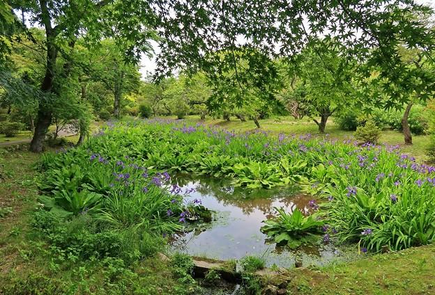 花菖蒲咲く水辺
