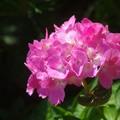 紫陽花の一粒の輝き