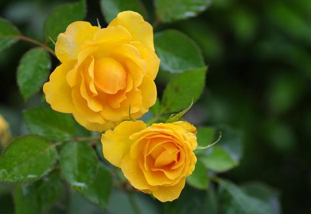 梅雨に咲く薔薇