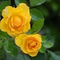 Photos: 梅雨に咲く薔薇