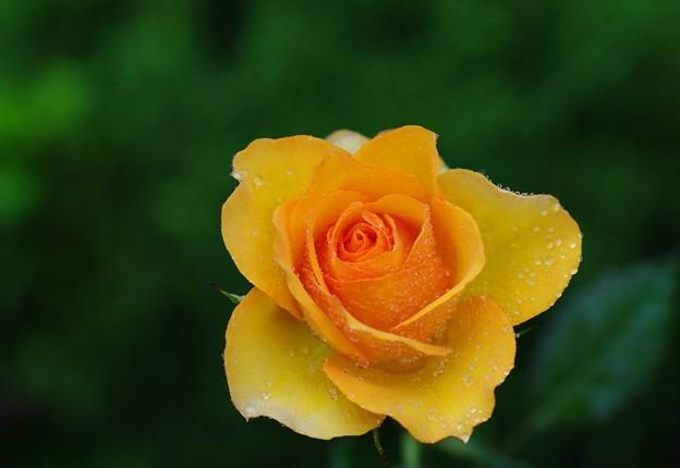Photos: 雨に咲く薔薇