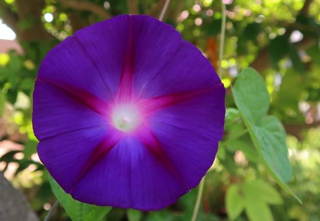 Photos: 紫の朝顔