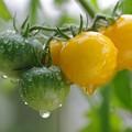 Photos: 黄色いトマト