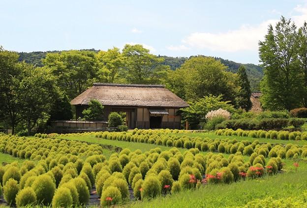 Photos: ふるさと村のコキア