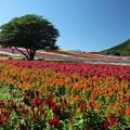 Photos: お花畑の一本の木