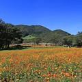 高原のコスモス畑
