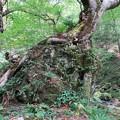 Photos: 岩を包む巨木