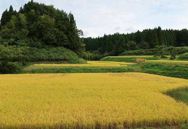 Photos: 山里の棚田も黄金色