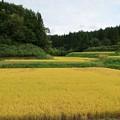山里の棚田も黄金色