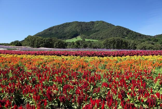 山裾に広がる花畑