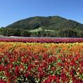 Photos: 山裾に広がる花畑