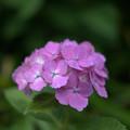 小さくても綺麗に咲く