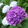 長谷寺の紫陽花7