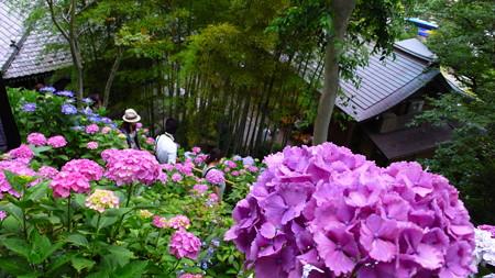 長谷寺の紫陽花4