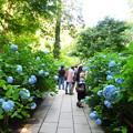 Photos: 紫陽花の道