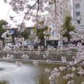 Photos: 桜@城山公園(愛媛)