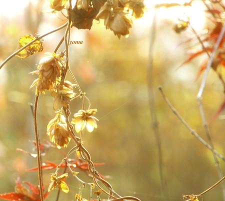 ホップの秋色♪