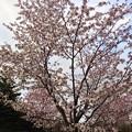 写真: モエレ沼公園の桜