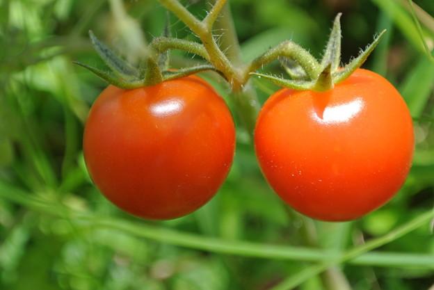 Photos: ハウスの中のプチトマト