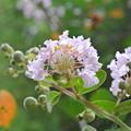 Photos: サルスベリの花