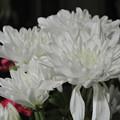 Photos: お盆の白菊