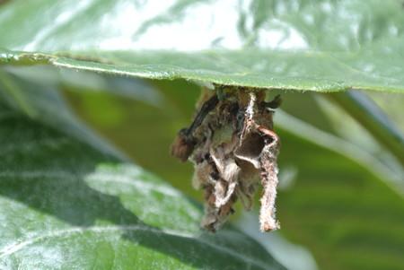 びわの害虫、ミノムシ