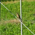 Photos: ハウスに入ってきた鳥