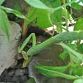Photos: アブラゼミを捕らえたカマキリ