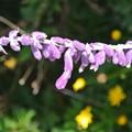 Photos: セージの花