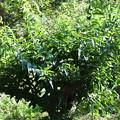 Photos: 強剪定した1年後の栗の木