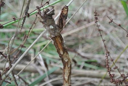 草食動物によるびわ苗木の食害