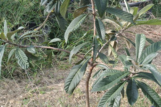 写真: 誘引後のびわの苗木