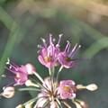 Photos: エシャレットの花
