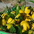 Photos: 11月の柚子収穫